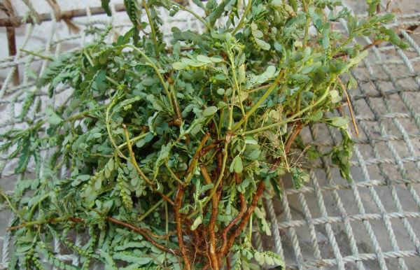 Phyllanthus niruri p