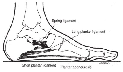 Figure 01, Plantar Fasciitis, Anatomy of the Foot