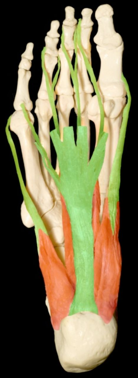 Plantar Fasciitis: An Overview – Boot Camp & Military Fitness Institute