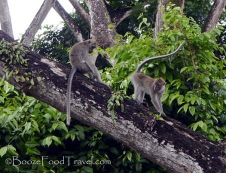 macritchie-monkeys