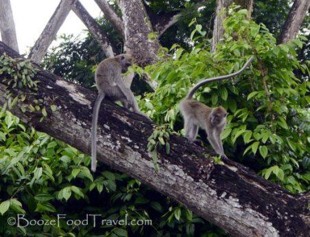 macritchie-monkeys