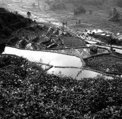 Rice and Tea fields