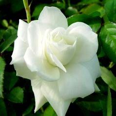 Z Rose (2)