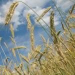 Вести с волгоградских полей