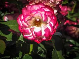 Red & White Rose