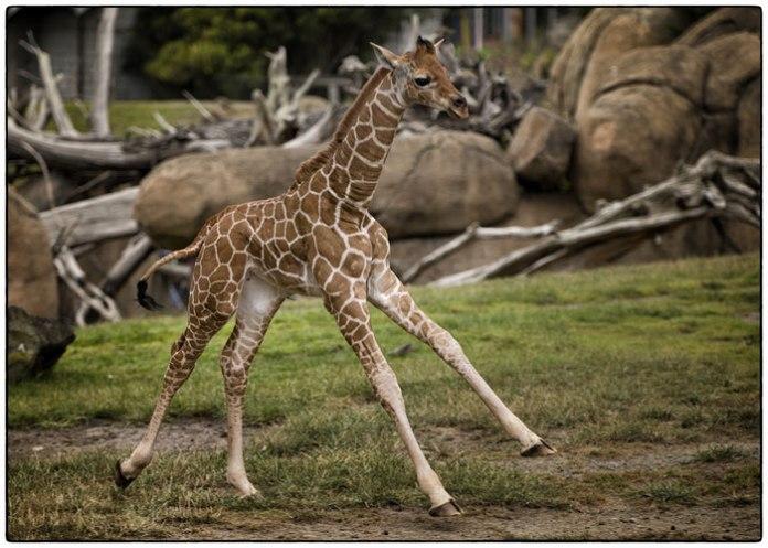 Cute Baby Giraffes