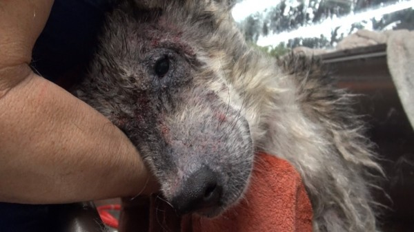 Suspected Wolf Hybrid Saved From A Terrible Life On The Street