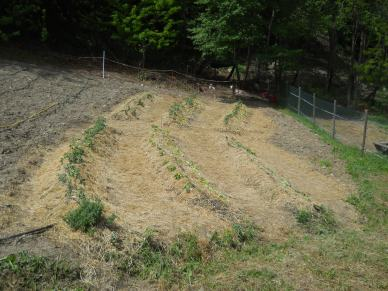 Here are our 6 freshly planted synergetic beds, with the goats grazing underbrush in the forest in the background