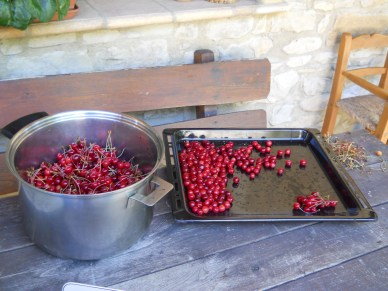 The first Cherry harvest