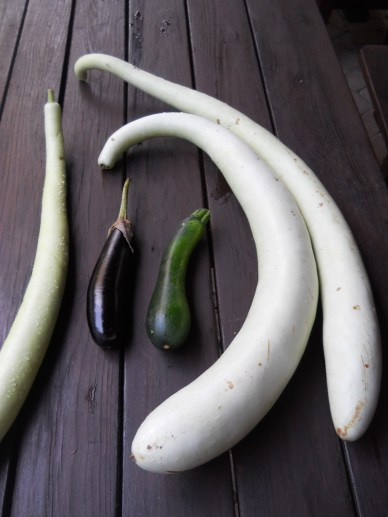 We've harvested well over 50 kilos each of eggplants, zucchini, and our special Sicilian cucuzze, but they're still behind 100 kilos of tomatoes.