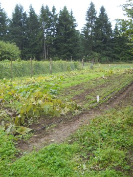 These are the freshly harvested squash rows at the Kiwanis Food Bank Garden, where we are making our home in Olympia.  We hope to get trained to volunteer soon!