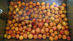 This is all fruit from just one small tree (Almost.  Can you spot the plums?)