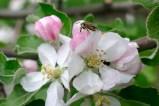Труженица пчела над яблоневым цветком
