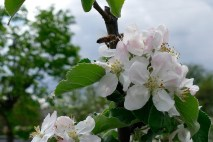 Пчелы любят яблоневые цветы