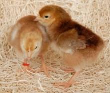 http://www.chickensforbackyards.com/images/RhodeIslandRedChicks.jpg