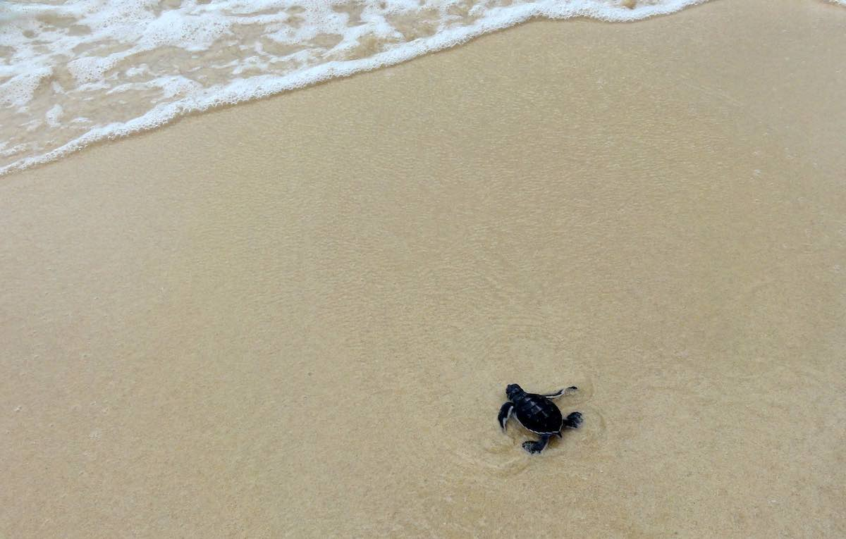 baby green turtle