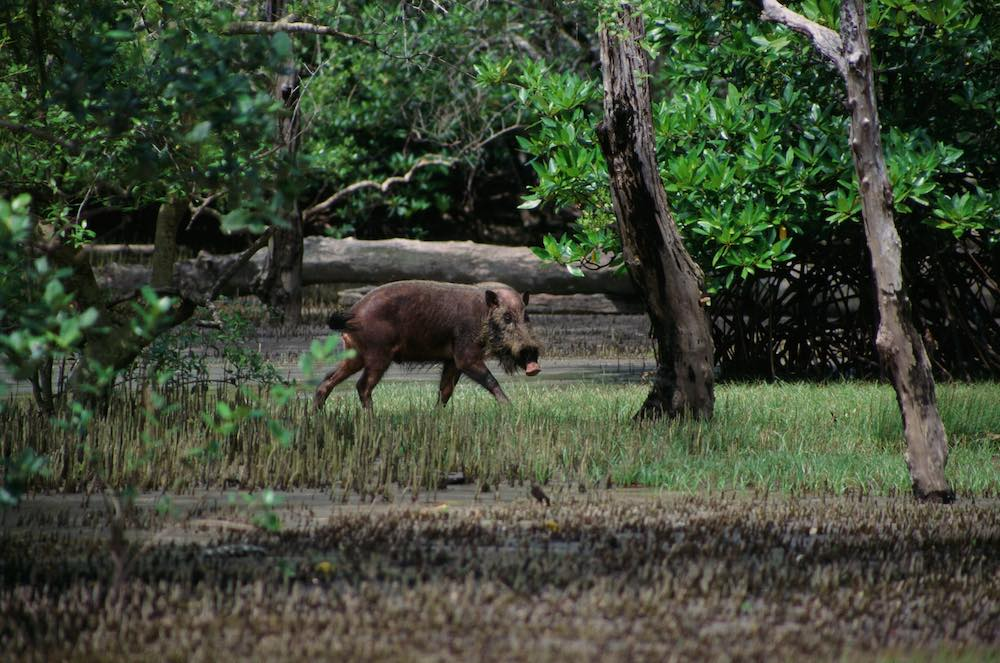 wild boar at bako national park