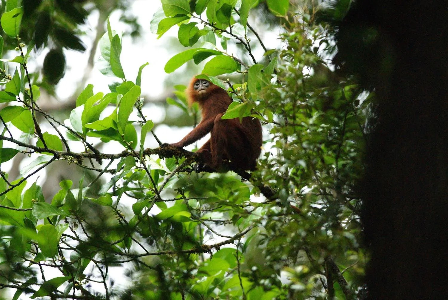 red leaf monkey, batang ai