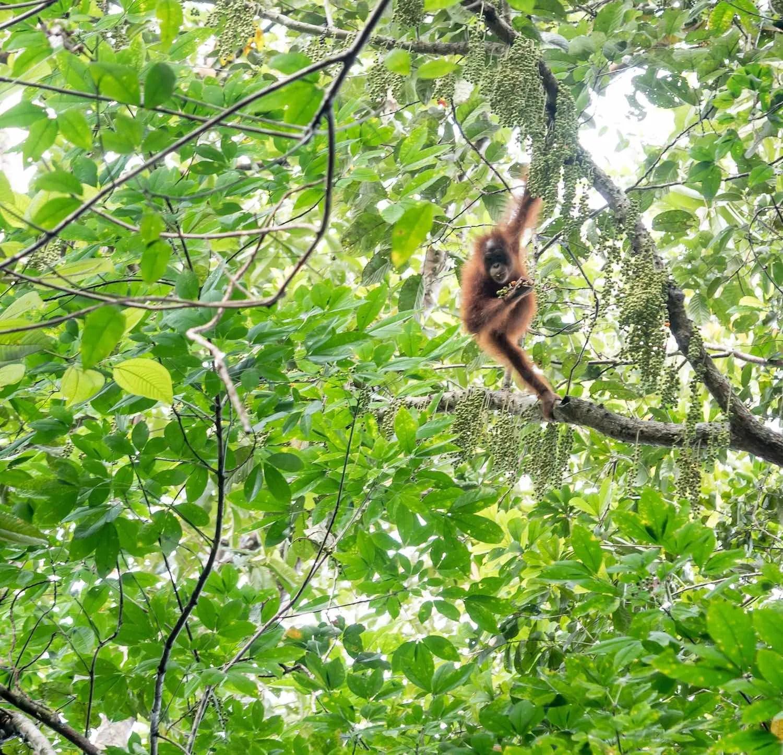Juvenile orangutan spotted on Red Ape Trail, Sarawak.