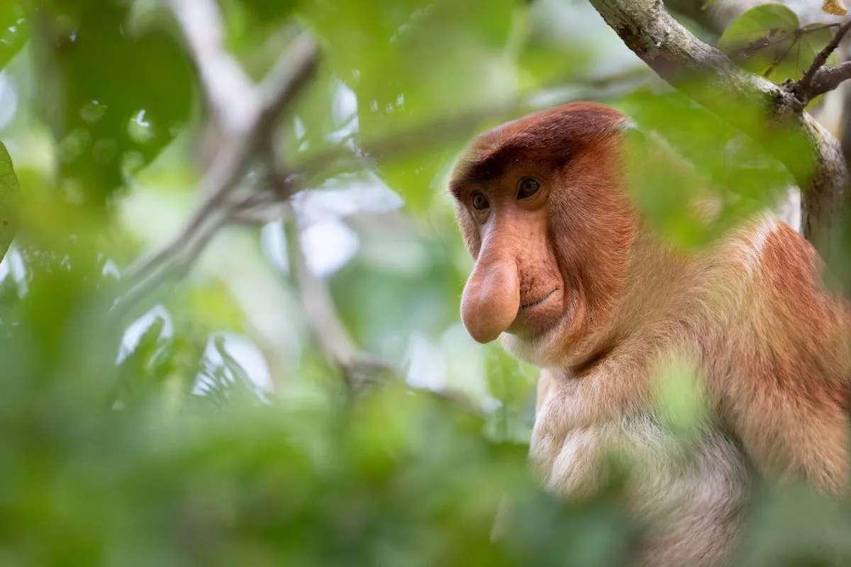Proboscis monkey at Bako National Park