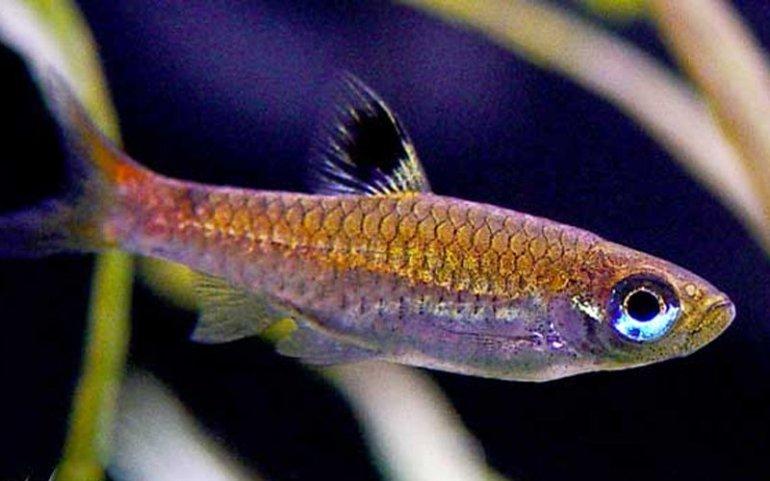 ikan seluang