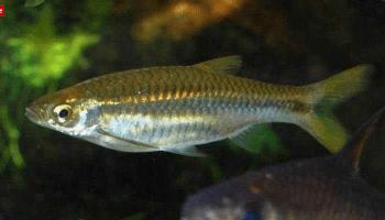 7 Rahasia Budidaya Ikan Arwana Super Red Borneo Channel