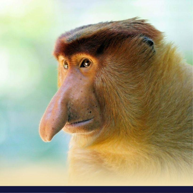 Monyet Bekantan Kalimantan Gambar Habitat Dan Penjelasannya