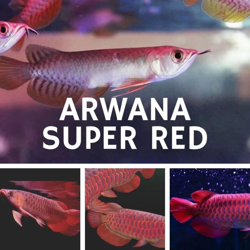 Jual Arwana Super Red List Harga Dan Cara Pemeliharaannya