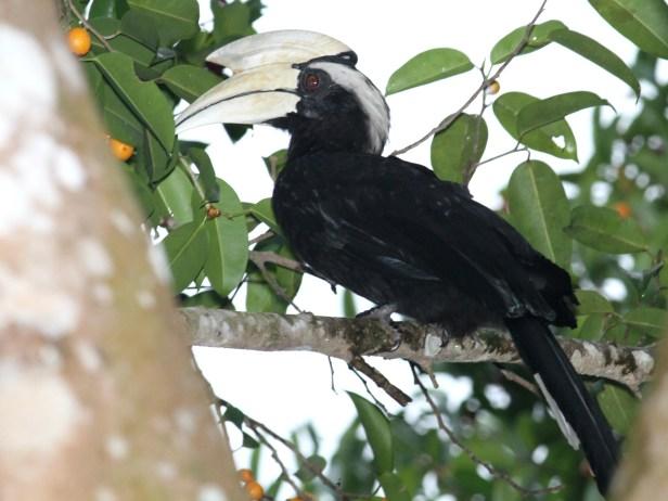 black-hornbill-img_5010