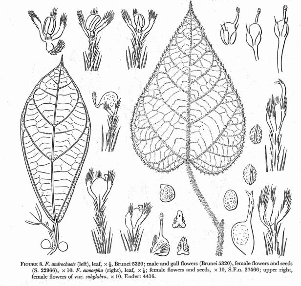 Ficus androchaete & eumorpha.jpg