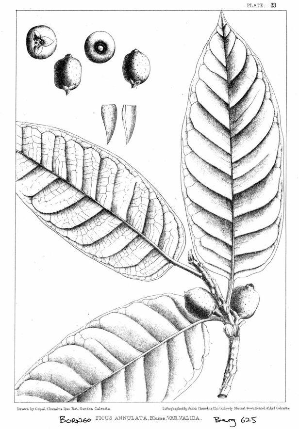 Ficus annulata 002 King (1887) ENHANCED.jpg