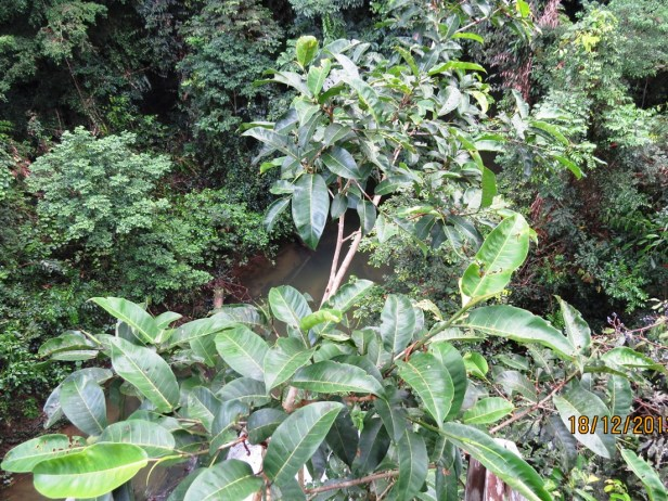 Ficus annulata IMG_4758.JPG