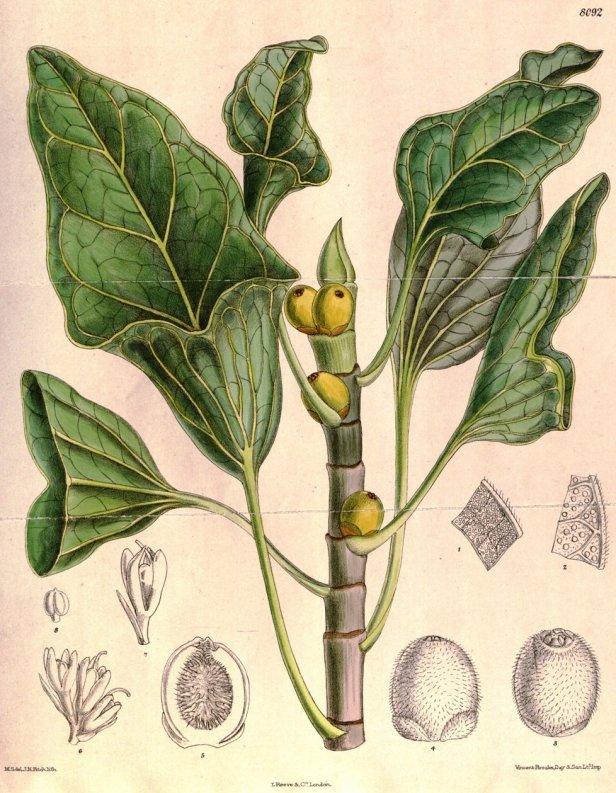 ficus-benghalensis-krisnae-cbm-1906-smith-6783