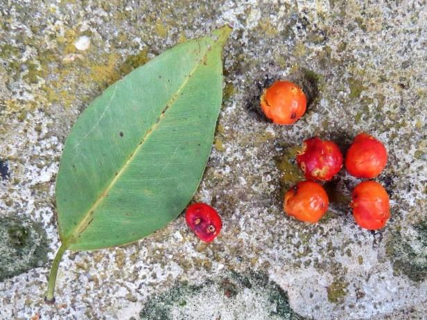 Ficus benjamina IMG_0018.JPG