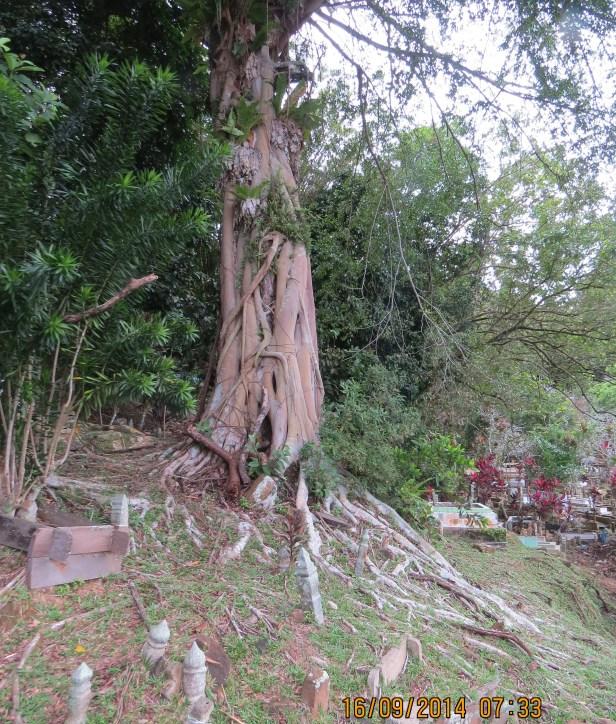 Ficus benjamina IMG_0025.JPG