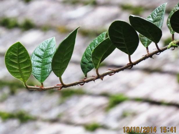 Ficus cavernicola IMG_0433.JPG