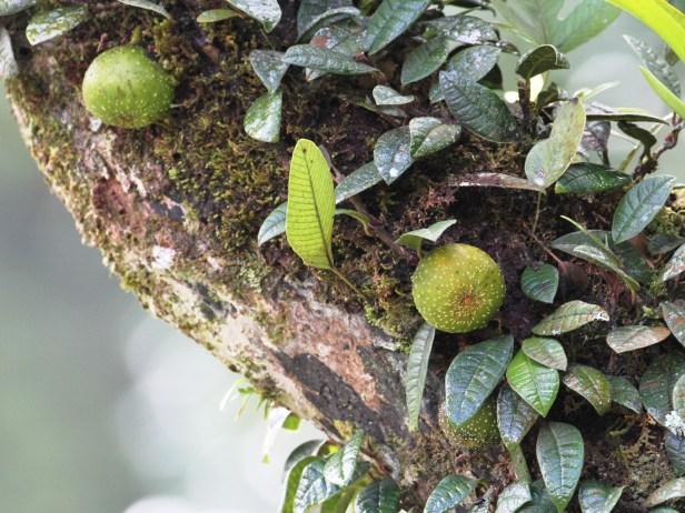 Ficus cavernicola IMG_2123.JPG
