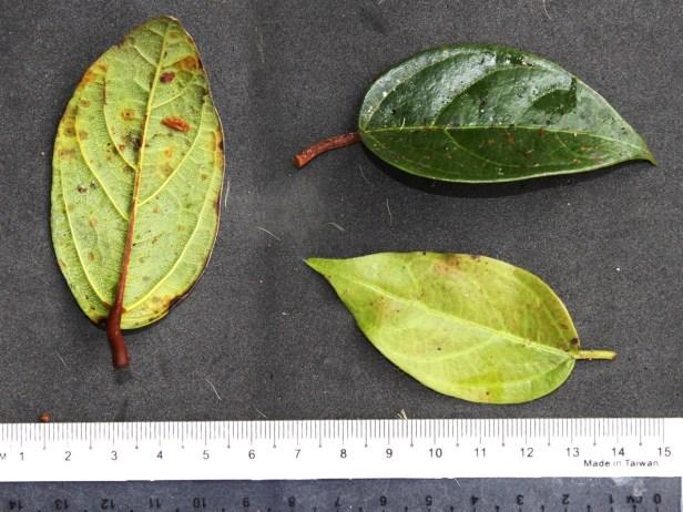 Ficus detonsa IMG_1887.JPG