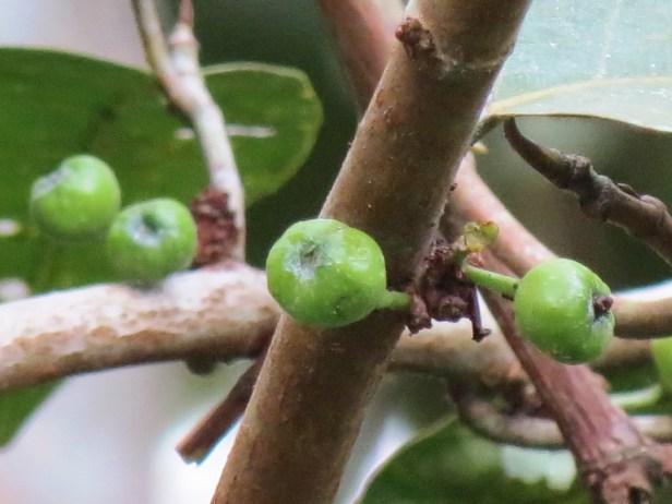 Ficus fistulosa Samboja IMG_3676.JPG
