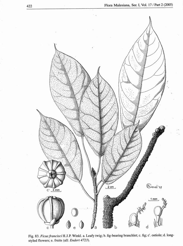 ficus-francisi-drawing