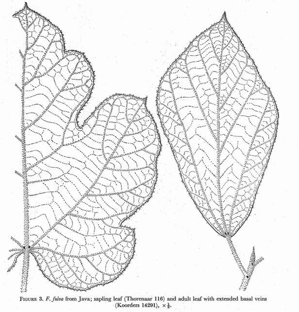 Ficus fulva Corner (1970).jpg