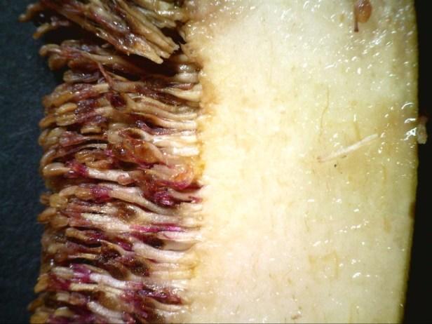 ficus-grandiflora-a378-20141026_105549