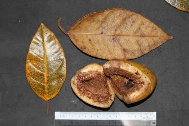 ficus-grandiflora-img_3467
