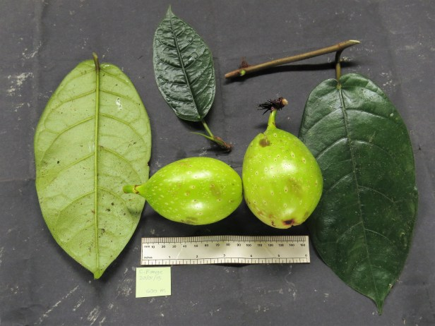 ficus-grandiflora-img_4027