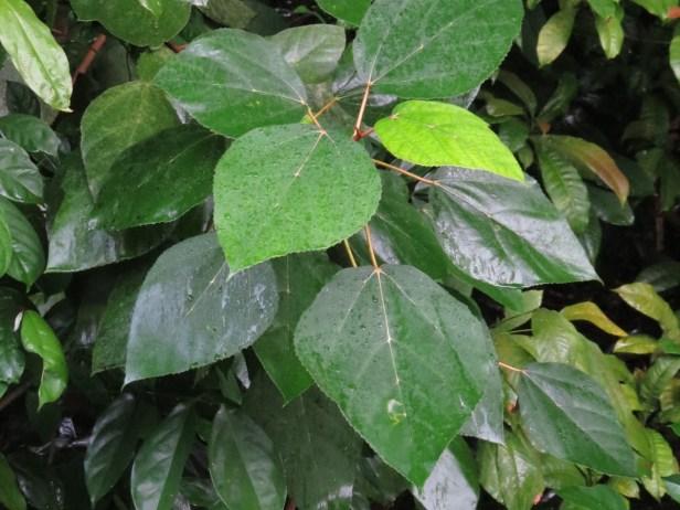 Ficus grossularioides IMG_0887.JPG