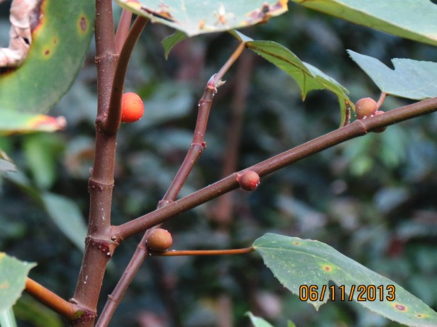 Ficus grossularioides IMG_3979.JPG