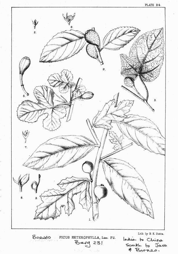 Ficus heterophylla King (1887) ENHANCED.jpg