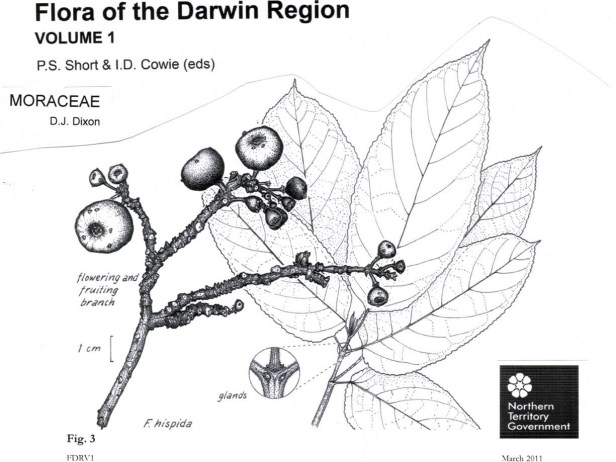 ficus-hispida-northern-australia