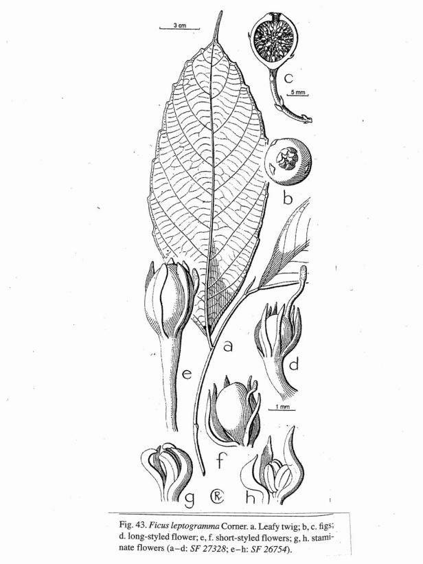 ficus-leptogramma