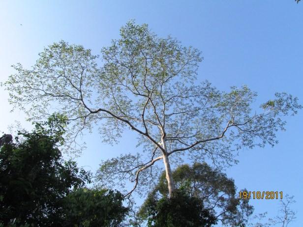 ficus-nervosa-tabin-tree-img_3852